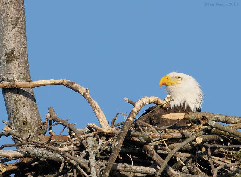 _NW09753 female Bald Eagle Chick Feeding Evidence