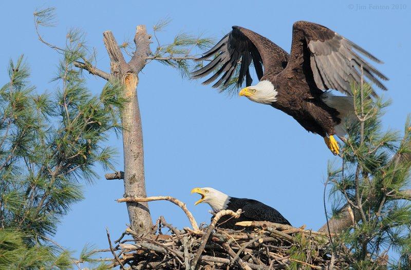 _NW09704 Bald Eagle Agresssion