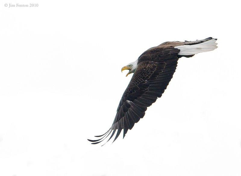 _NW05751 Bald Eagle Flyby During Banding