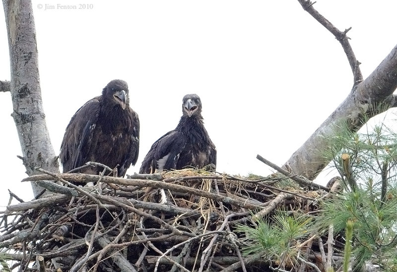 _NW05915 Bald Eagle Chicks Returned to the Nest