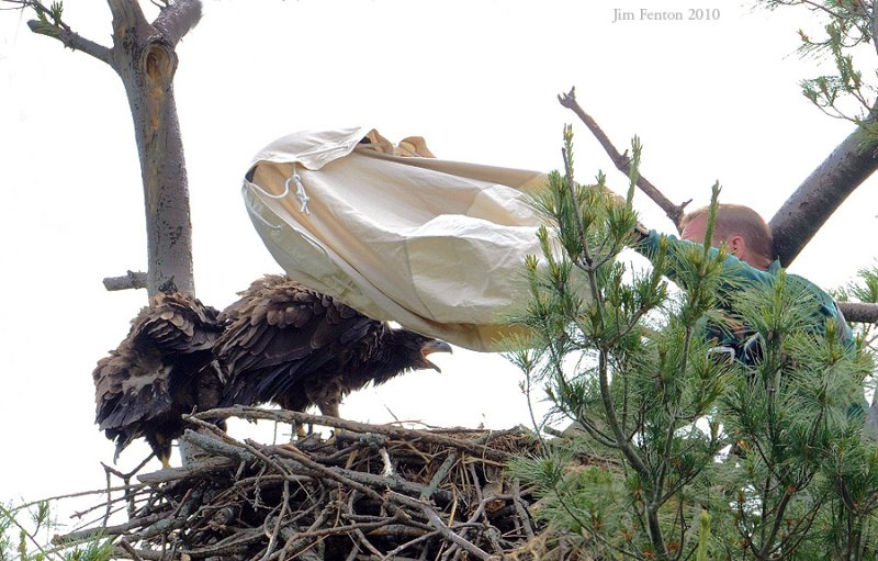 _NW05807 Bald eagle Chick Being Bagged