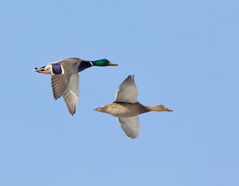 160 Mallard pair in Flight