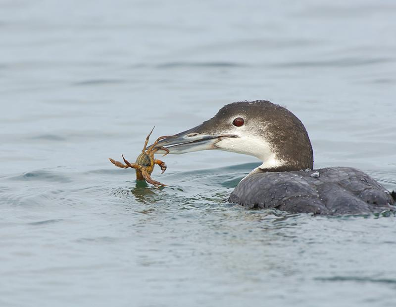 188 Common Loon with Prey (crab)