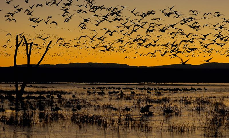 Bosque del Apache NWR Snow Goose Fly out At Dawn