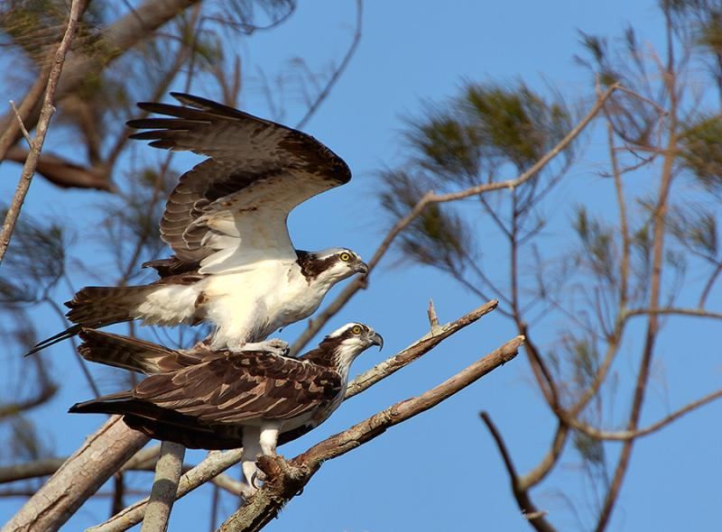 Ospreys Mating.jpg