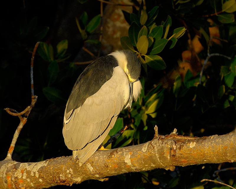 Black Crowned Night Heron Sleeping Late Afternoon