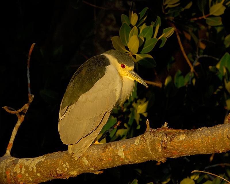211 Black Crowned Night Heron at Sunset