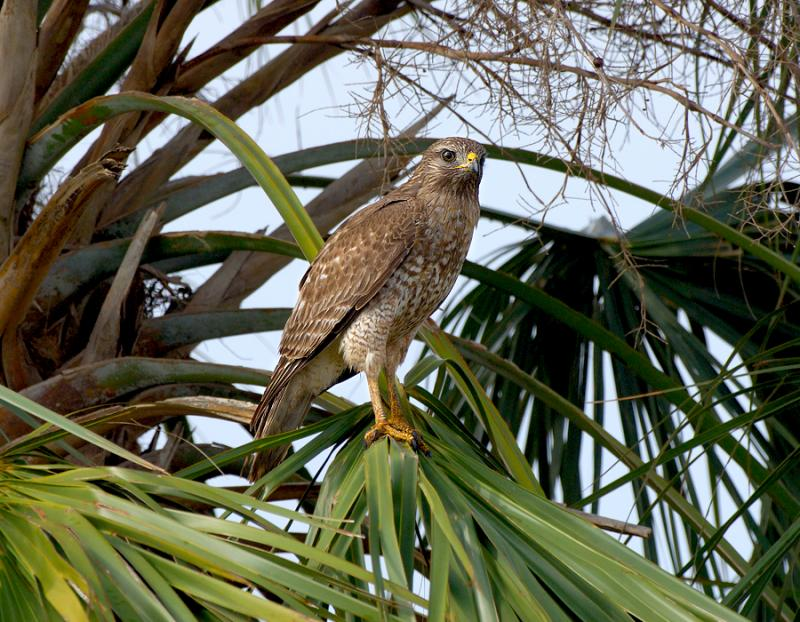 Juvenile Red Shoulder Hawk In Palm