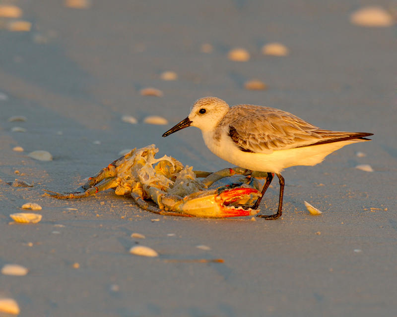 214 Sanderling and Crab at Sunset