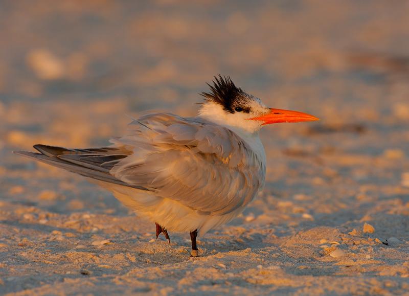 215 Royal Tern at Sunset.