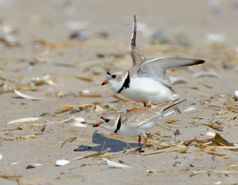 JFF1752 Piping Plover Mating Activity