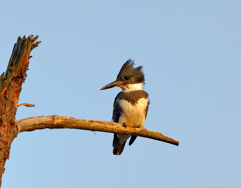 Belted Kingfisher, Creek Brook, Haverhill, Massachusetts