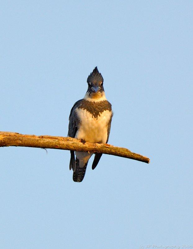 Belted Kingfisher, Creek Brook, Haverhill, Massachusetts