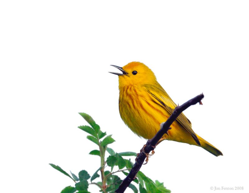 _NW83538 Yellow Warbler in Song