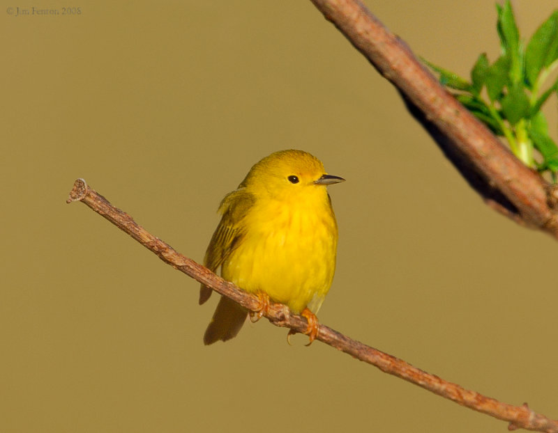 _NW83616 Female Yellow Warbler.