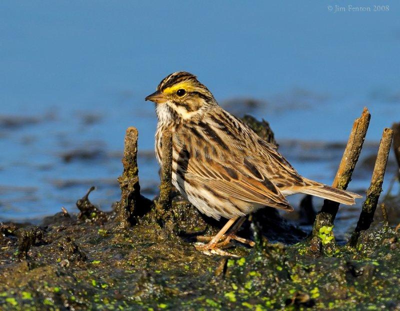 _NW83641 Savannah Sparrow