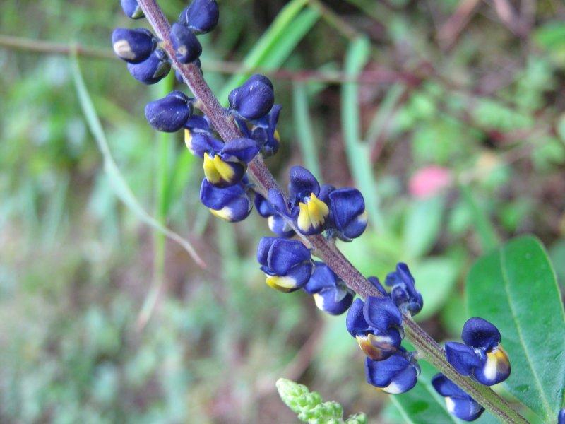57.Monnina salicifolia, Polygalaceae