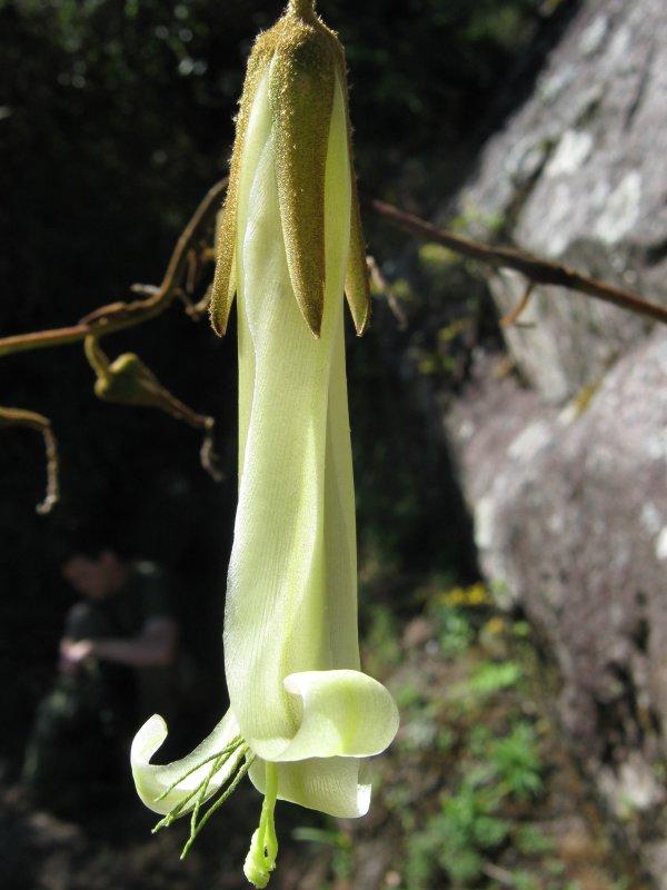 12.Campacho, Bromeliaceae