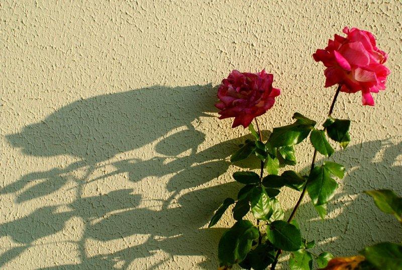 Même les roses sont tristes