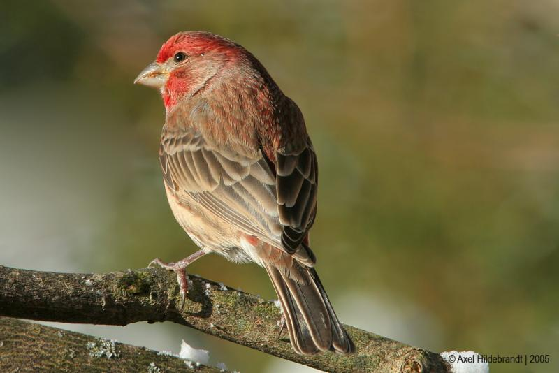 HouseFinch05c.jpg