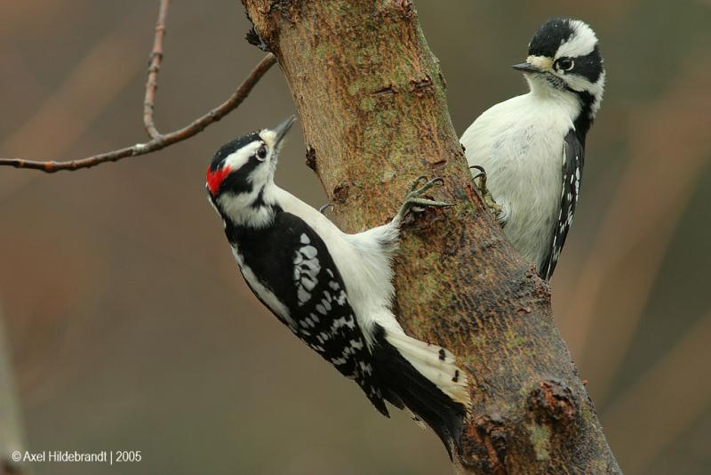 DownyWoodpeckers28c.jpg
