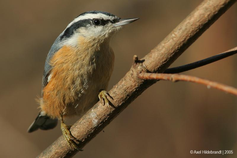 Red-breastedNuthatch19c.jpg