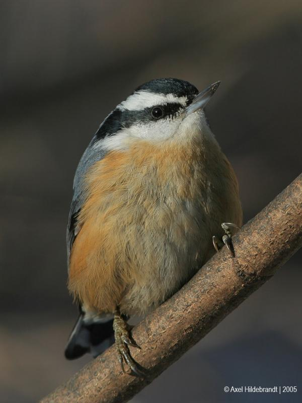 Red-breastedNuthatch36c.jpg