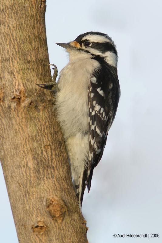 DownyWoodpecker61c.jpg