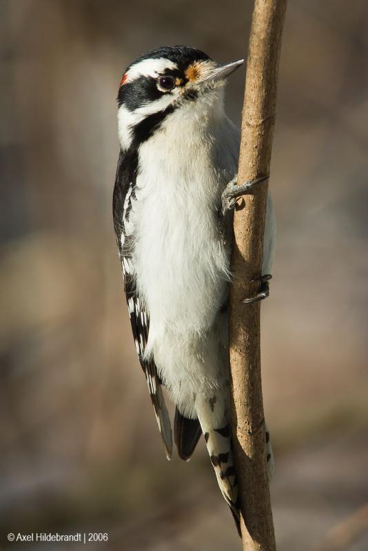 DownyWoodpecker68c.jpg