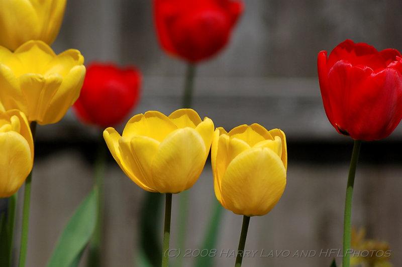 _20080430_03_Tulip Bed.JPG