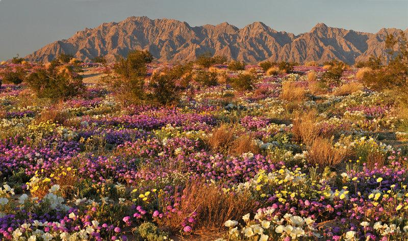 Spring flowers california desert flowers healthy ca mojave desert flower field late light 2 photo dean hueber mightylinksfo
