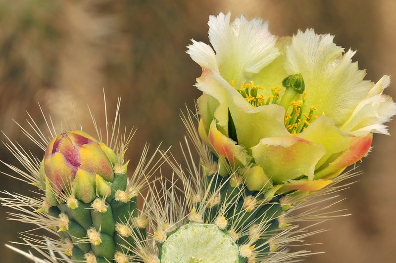 Jumping Chollo Cactus Blossom 2
