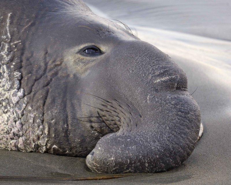 Seal, Northern Elephant, Bull-123109-Piedras Blancas, CA, Pacific Ocean-#1243.jpg
