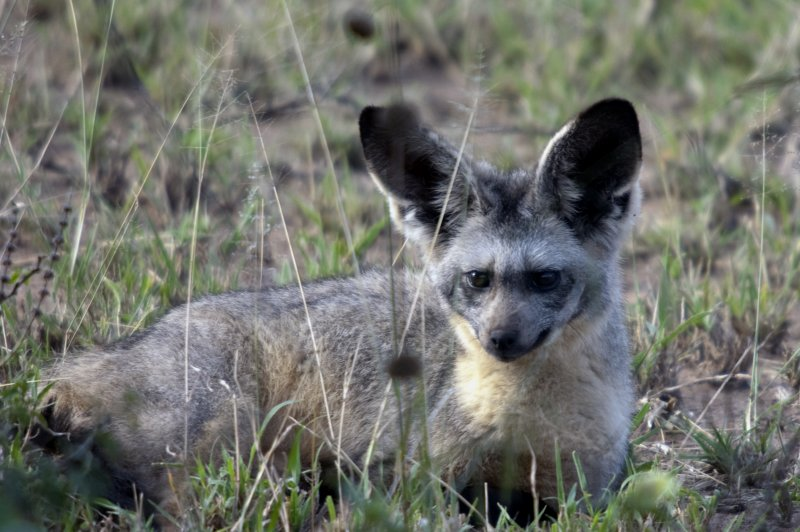 We came across three bat-earred foxes near the hippo pool