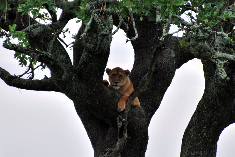We came across some more tree-climbing lions