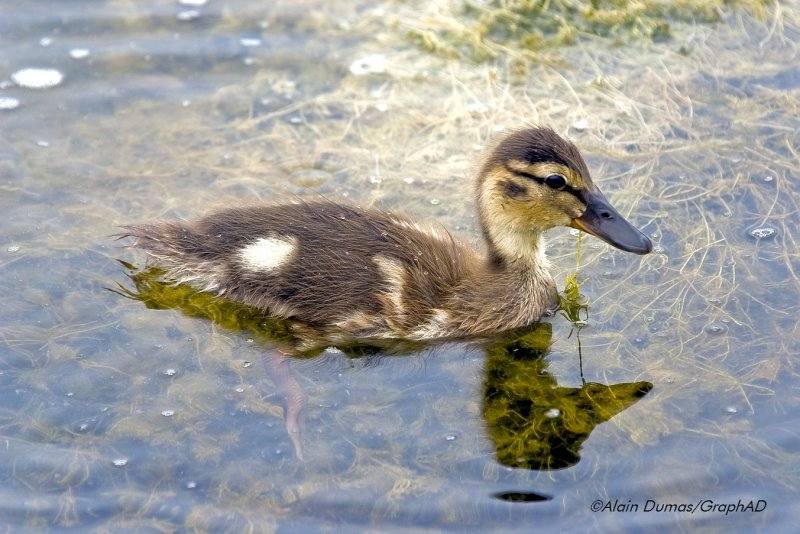 Canard Colvert Juvénile - Juvenile Mallard Duck