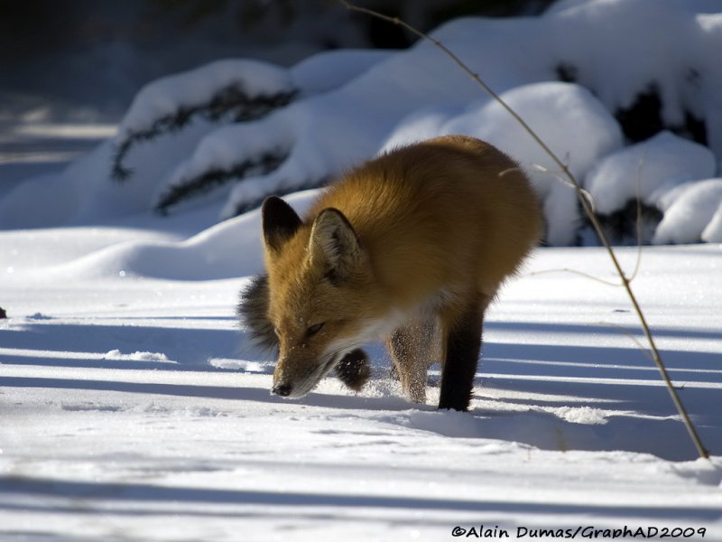 Renard Roux - Red Fox 002