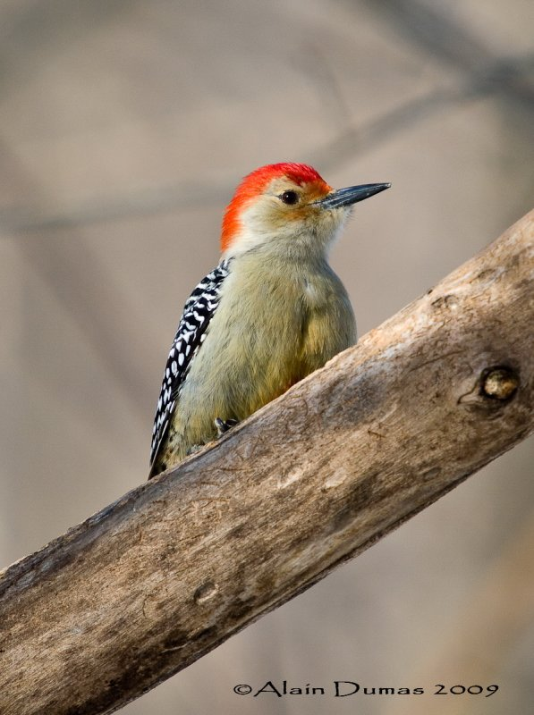 Pic à ventre roux Mâle - Male Red-Bellied Woodpecker - 001