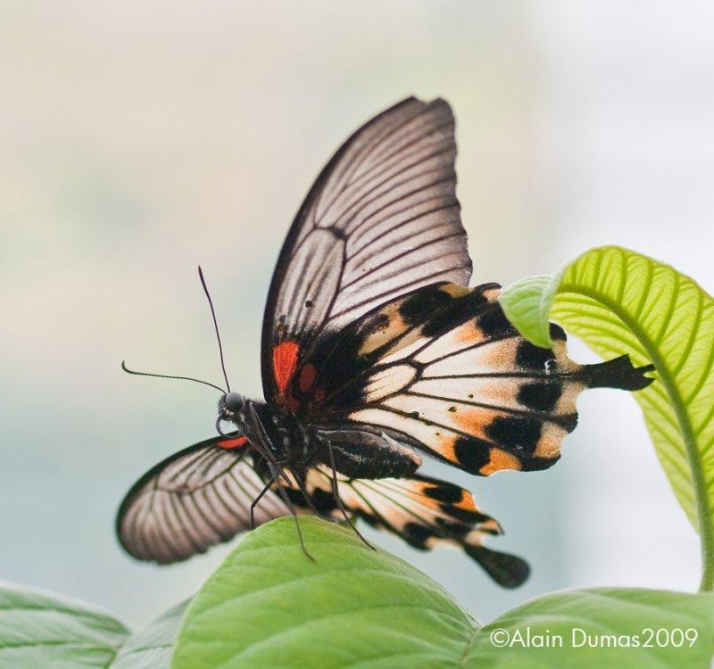 Papilio Memmon 001
