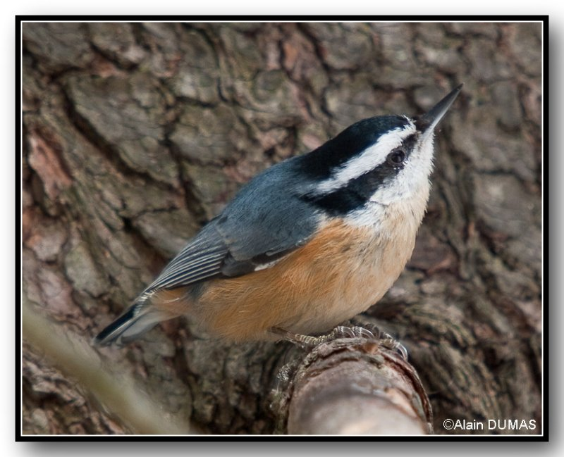 Sitelle à Poitrine Rousse Mâle - Male Red-Breasted Nuthatch