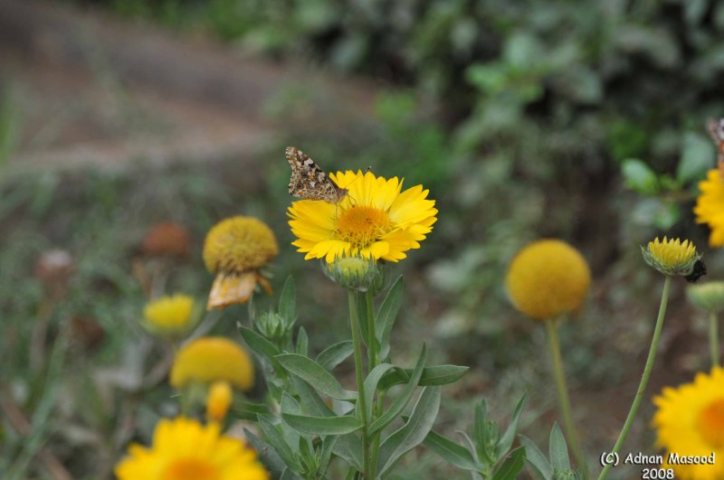ABHA_Flower_ButterFly - 007.JPG