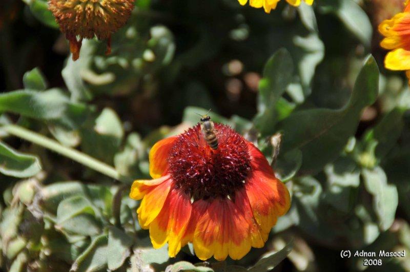 ABHA_Flower_and_HoneyBee - 021.jpg