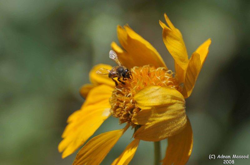 ABHA_Flower_and_HoneyBee - 029.jpg