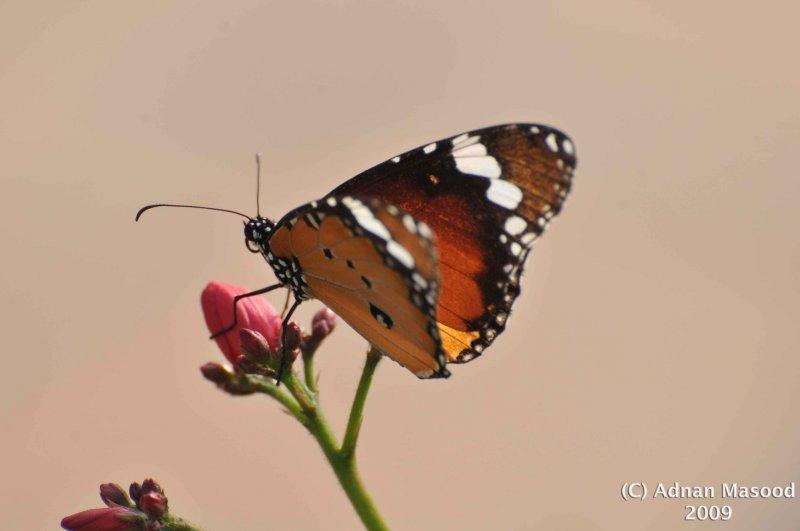 Butterfly_103.jpg