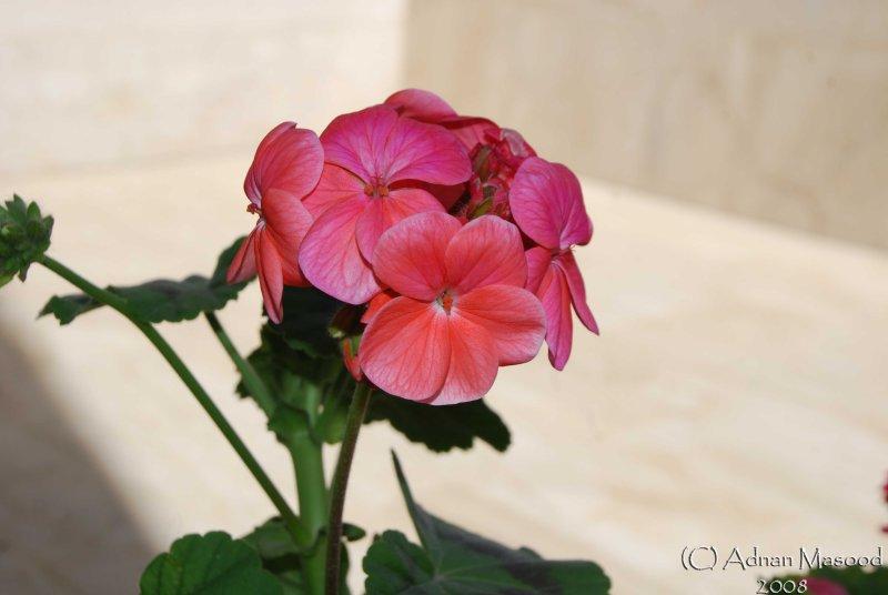Spring Flowers in SA - 001.JPG