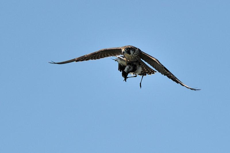 Peregrine Falcon with  Blacksmith Plover prey