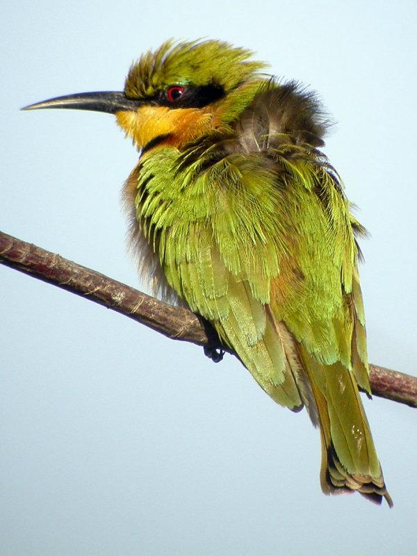 Little Bee-eater, Tanji, The Gambia