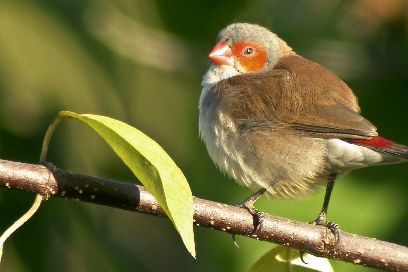 Orange-cheeked waxbill, Tanji, The Gambia
