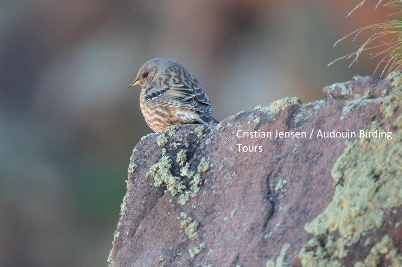 Alpine Accentor - Prunella collaris