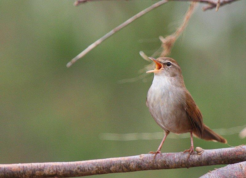 Cettis Warbler - Cettia cetti - Ruiseñor bastardo - Rossinyol bord